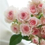 7月15日の誕生花と花言葉♪バラ(ピンク)