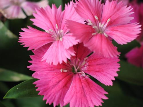 7月22日の誕生花と花言葉♪ナデシコ