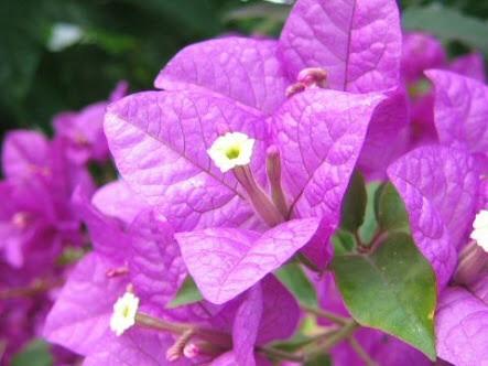 7月25日の誕生花と花言葉♪花筏葛