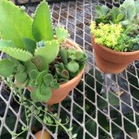 多肉植物寄せ植え