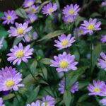 8月1日の誕生花と花言葉♪ミヤコワスレ
