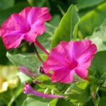 8月2日の誕生花と花言葉♪オシロイバナ