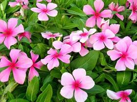 8月3日の誕生花と花言葉♪ニチニチソウ