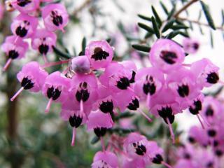 8月5日の誕生花と花言葉♪エリカ