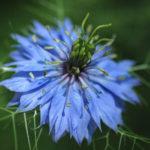 8月7日の誕生花と花言葉♪ニゲラ