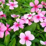 8月8日の誕生花と花言葉♪日々草