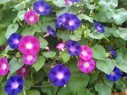8月9日の誕生花と花言葉♪アサガオ