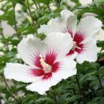 8月10日の誕生花と花言葉♪ムクゲ