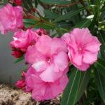 8月12日の誕生花と花言葉♪夾竹桃