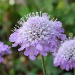 8月13日の誕生花と花言葉♪松虫草