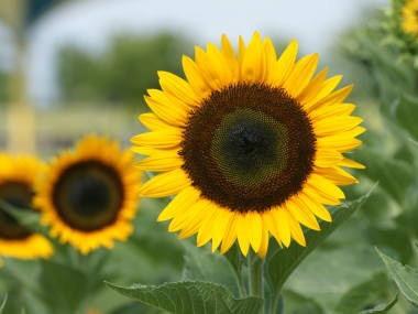 8月15日の誕生花と花言葉♪ヒマワリ