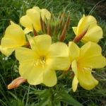 8月16日の誕生花と花言葉♪待宵草(まつよいぐさ)