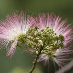 8月17日の誕生花と花言葉♪ねむの木