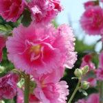 8月18日の誕生花と花言葉♪立葵