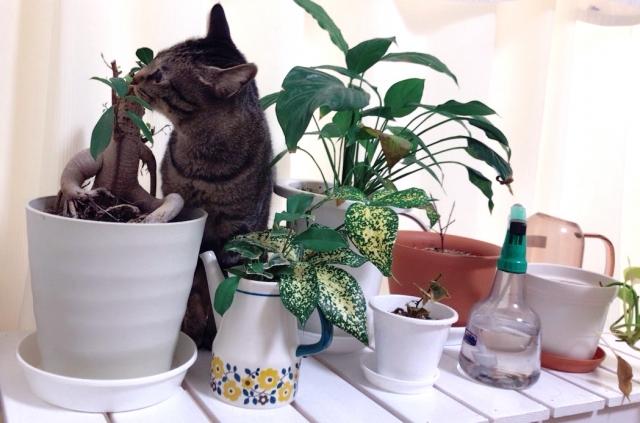 オリヅルラン 花言葉 誕生花 猫と観葉植物