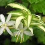 9月16日の誕生花と花言葉♪オリヅルラン