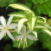 オリズルラン 花言葉 誕生花