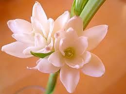 チューベローズ 誕生花 花言葉