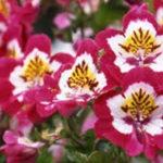 11月2日の誕生花と花言葉♪シザンサス