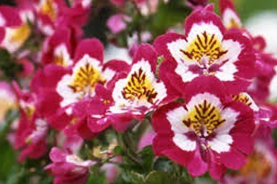 11月2日 誕生花 花言葉 シザンサス