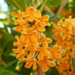 11月1日の誕生花と花言葉♪金木犀