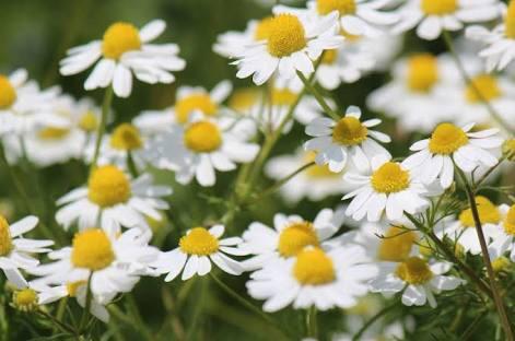 11月3日の誕生花と花言葉♪カモミール