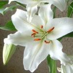 11月6日の誕生花と花言葉♪カサブランカ