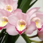 11月7日の誕生花と花言葉♪シンビジウム