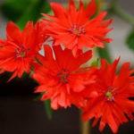11月8日の誕生花と花言葉♪仙翁