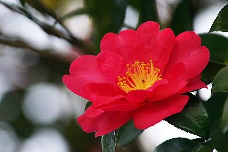 11月9日の誕生花と花言葉♪サザンカ