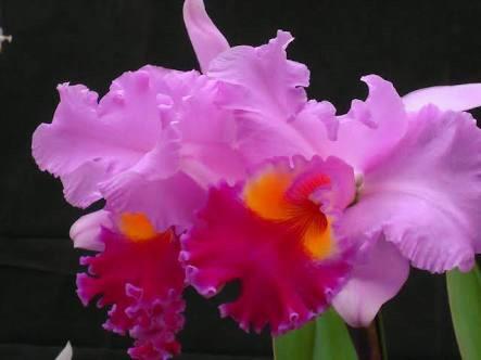 11月10日の誕生花と花言葉♪カトレア
