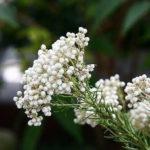 11月12日の誕生花と花言葉♪ライスフラワー