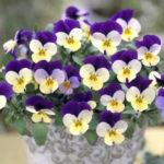 11月11日の誕生花と花言葉♪ビオラ