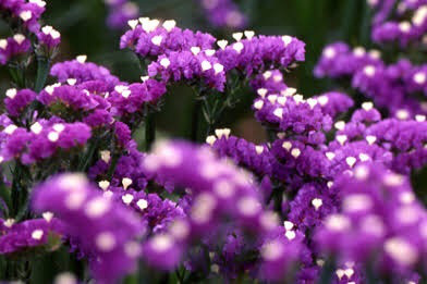 11月16日の誕生花と花言葉♪スターチス