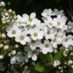 11月19日の誕生花と花言葉♪雪柳