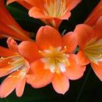 12月20日の誕生花と花言葉♪君子蘭