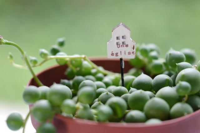 グリーンネックレス ~多肉植物の育て方~