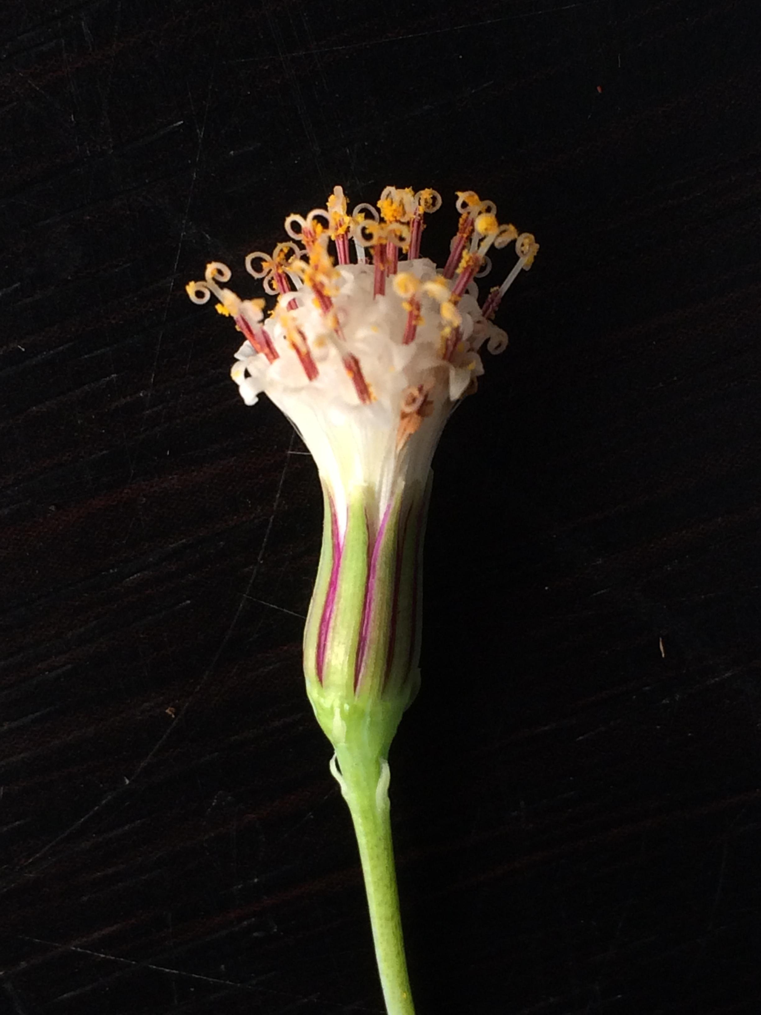グリーンネックレスの花を徹底解剖!キク科の理由はここにあった! 多肉植物の豆知識