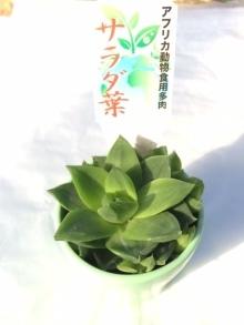 ハオルチア 食用 サラダ葉