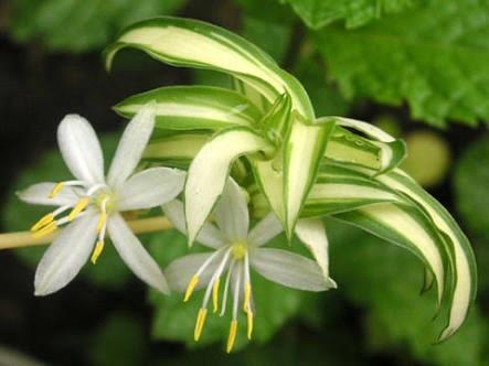 オリヅルラン 花言葉 誕生花