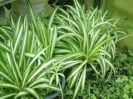 オリヅルラン 花言葉 誕生花 空気清浄効果がある観葉植物