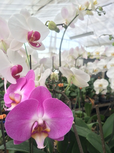 胡蝶蘭 花言葉 誕生花