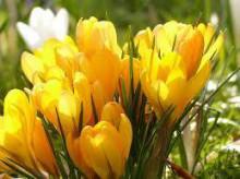 クロッカス 花言葉 誕生花
