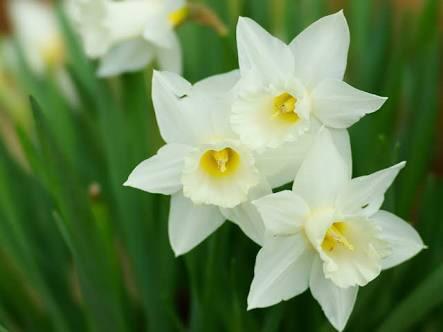 水仙 スイセン 誕生花 花言葉