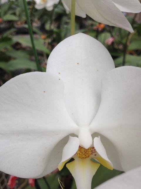 胡蝶蘭 ボトリチス