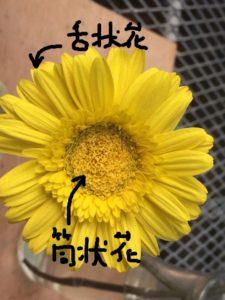 ガーベラ 舌状花と筒状花