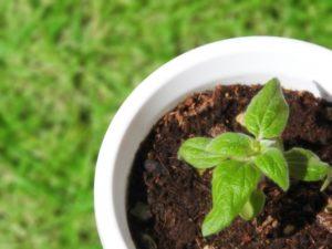 鉢と小さな芽