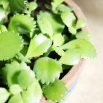 子宝草 ~多肉植物の育て方~
