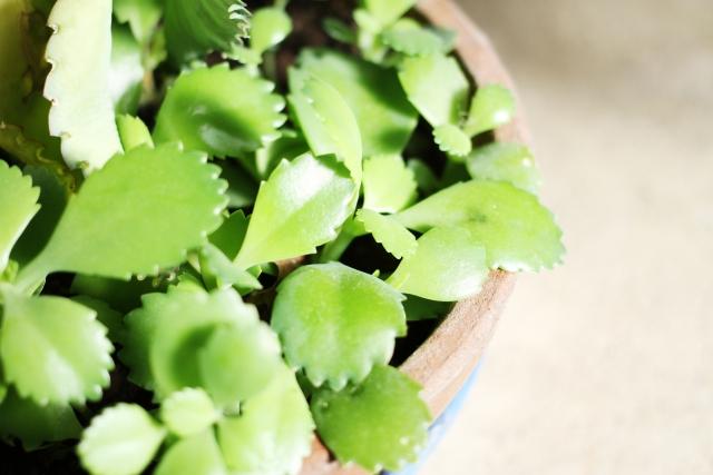 子宝草の育て方 食べるときはちょっと注意ですよ