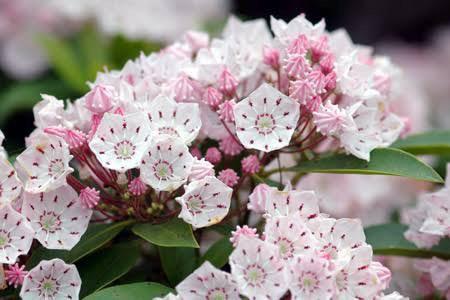 2月11日の誕生花と花言葉♪カルミア